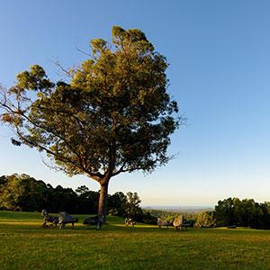 Tree at Gwinganna