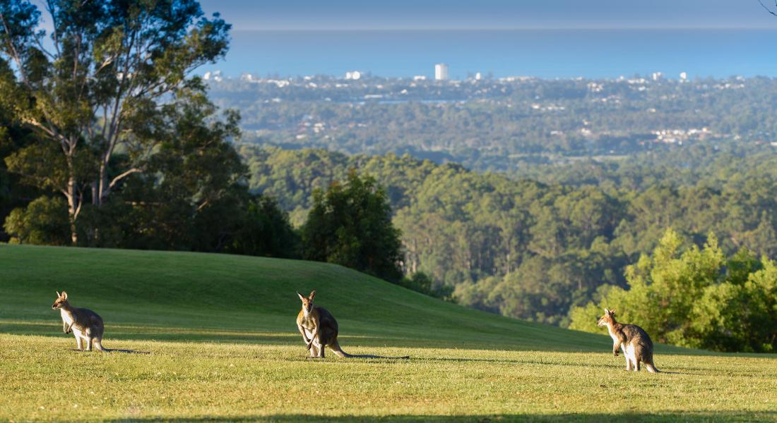 Kangaroos sunning themselves on the Gwinganna hill