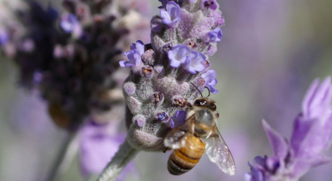bee crawls on lavender plant